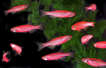 Glowing Red GloFish Genetically Modified Pet